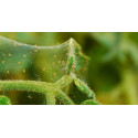 Growth Technology Spidermite Control